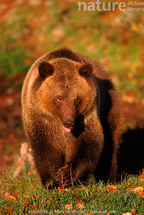 Grizzly / Brown bear portrait  ,  BROWN,CARNIVORES,PORTRAITS,MMC,USA,VERTICAL,CANADA,CAPTIVE,MAMMALS,NORTH AMERICA  ,  Mary McDonald