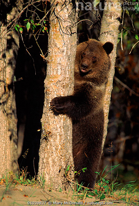 Grizzly bear standing on hind legs behind tree, N. America (captive)  ,  WOODLANDS,USA,CANADA,STANDING,CARNIVORES,MMC,VERTICAL,CAPTIVE,MAMMALS,NORTH AMERICA ,BROWN BEAR  ,  Mary McDonald