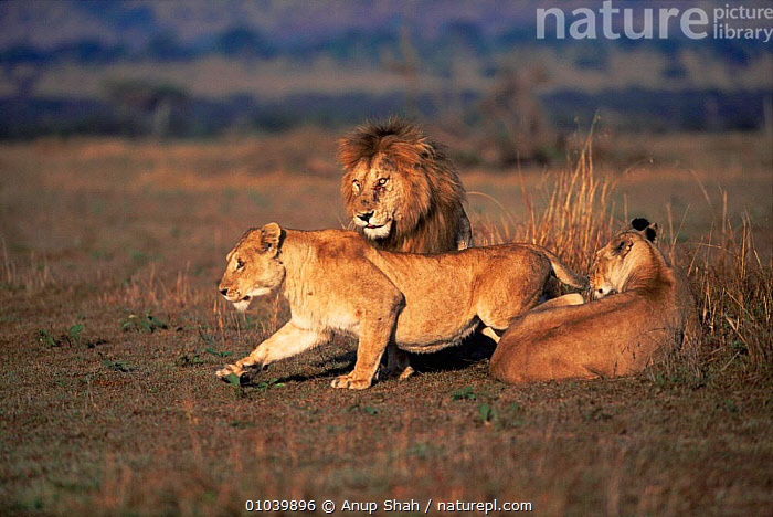 Lion courtship (Panthera leo) with female lioness inviting male to mate, Masai Mara, Kenya  ,  BEHAVIOUR,BIG CATS,CARNIVORES,CATS,COURTSHIP,EAST AFRICA,FEMALES,GRASSLAND,LIONS,MALE FEMALE PAIR,MALES,MAMMALS,MATING BEHAVIOUR,SAVANNA,VERTEBRATES,Africa,Reproduction  ,  Anup Shah