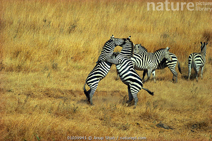 Common zebra stallions fighting for territorial dominance and access to females (Equus quagga) Masai Mara NR, Kenya  ,  ACCESS,ACTION,AGGRESSION,AS,BEHAVIOUR,DOMINANCE,EAST AFRICA,FEMALES,FIGHTING,KENYA,MALES,MAMMALS,PERISSODACTYLA,SAVANNA,AFRICA,GRASSLAND,CONCEPTS,EQUINES  ,  Anup Shah