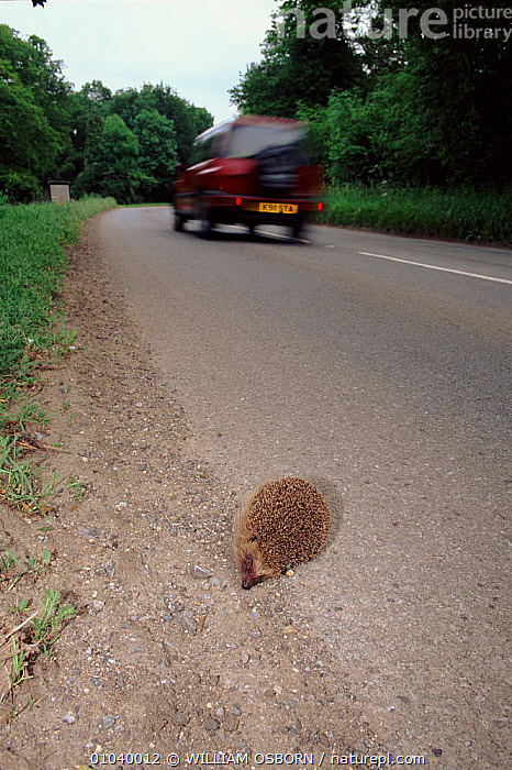 Hedgehog - run over by car, UK  ,  VERTICAL,ROADS,WO,VEHICLES,DEATH,EUROPE,MAMMALS,UK,ENGLAND,INSECTIVORES,UNITED KINGDOM,BRITISH  ,  WILLIAM OSBORN