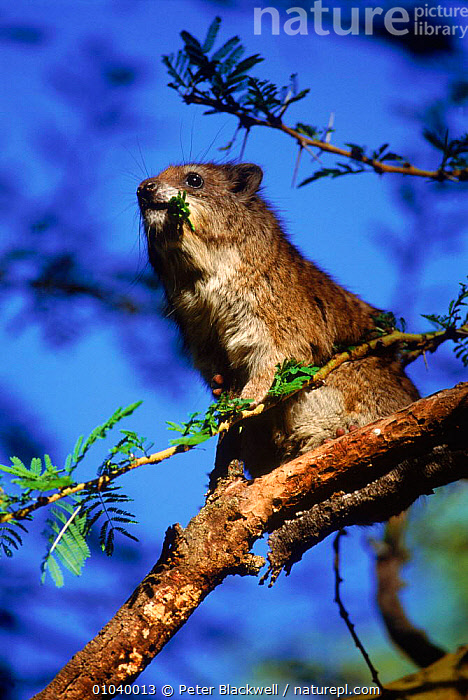 Tree hyrax (Dendrohyrax arboreus) eating acacia leaves Kenya, Masai Mara  ,  EAST AFRICA,HYRAXES,KENYA,AFRICA,MARA,FEEDING,MASAI,LEAVES,MAMMALS,VERTICAL,ACACIA,EATING,PBL,SAVANNA,GRASSLAND  ,  Peter Blackwell