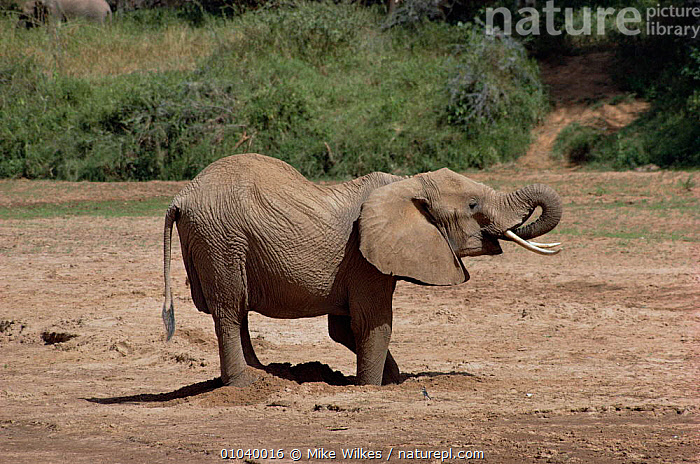 African elephant (Loxodonta africana) digging for water in dried river bed,  Samburu NP, Kenya  ,  DRINKING,DROUGHT,DRY SEASON,EAST AFRICA,ELEPHANTS,ENDANGERED,MAMMALS,PROBOSCIDS,VERTEBRATES,WATER,Africa  ,  Mike Wilkes