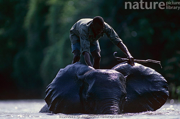 African elephant {Loxodonta africana} being bathed by handler, Garamba NP, northern Zaire  ,  ANIMAL CARE,BATHING,CENTRAL AFRICA,CLEANING,DOMESTIC,DOMESTICATED,ELEPHANTS,ENDANGERED,GROOMING,MAMMALS,NP,PEOPLE,PROBOSCIDS,VERTEBRATES,WATER,WORKING,Africa,National Park , Bruce Davidson  ,  Jabruson