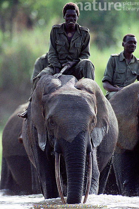 African elephants crossing river with riders. Democratic Republic of Congo, Garamba National Park.  ,  CONGO,NP,WEST AFRICA,AFRICA,GARAMBA,WATER,RIDING,PEOPLE,DOMSETICATION,MAMMALS,RESERVE,VERTICAL ,RIVERS,NATIONAL PARK,ELEPHANTS , Bruce Davidson  ,  Jabruson