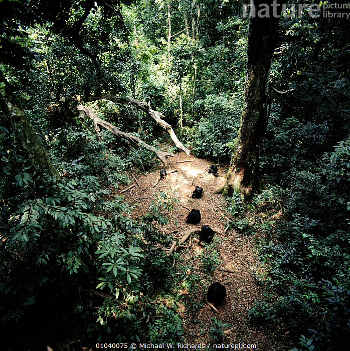 Chimpanzee troupe nut cracking in rainforest clearing (Pan troglodytes) Tai Forest, Ivory Coast, Africa  ,  AFRICA,FAMILIES,FEEDING,GROUPS,MAMMALS,MRI,NUTS,PRIMATES,TOOL USING,TROPICAL RAINFOREST,WEST AFRICA,GREAT APES  ,  Michael W. Richards