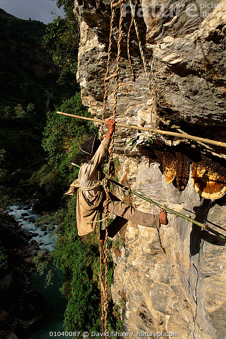 Collecting honey from cliff bee nests. Landrung, Nepal  ,  HARVESTING,HONEY,TRADITIONAL,VERTICAL,TRIBES,COLLECTING,LANDRUNG,BEE,NESTS,INDIAN SUBCONTINENT,INSECTS,PEOPLE,CLIFFS,ASIA,GEOLOGY,INVERTEBRATES  ,  David Shale