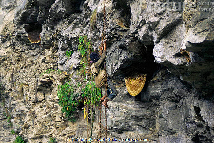 Man climbs down rope to collect honey from cliff bees' nests, Landrung, Nepal  ,  ASIA,Bee,CLIFFS,danger,HARVESTING,INDIAN SUBCONTINENT,INSECTS,NESTS,PEOPLE,TRADITIONAL,Geology,Invertebrates  ,  David Shale
