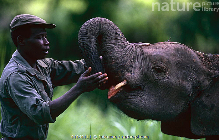 Park guard feeding domesticated juvenile African elephant {Loxodonta africana} Garamba NP, Congo  ,  AFFECTION,ANIMAL CARE,CENTRAL AFRICA,DOMESTIC,ELEPHANTS,ENDANGERED,FEEDING,IMMATURE,INTERACTION,JUVENILE,MAMMALS,NP,PEOPLE,PROBOSCIDS,PROFILE,VERTEBRATES,YOUNG,Africa,National Park , Bruce Davidson  ,  Jabruson
