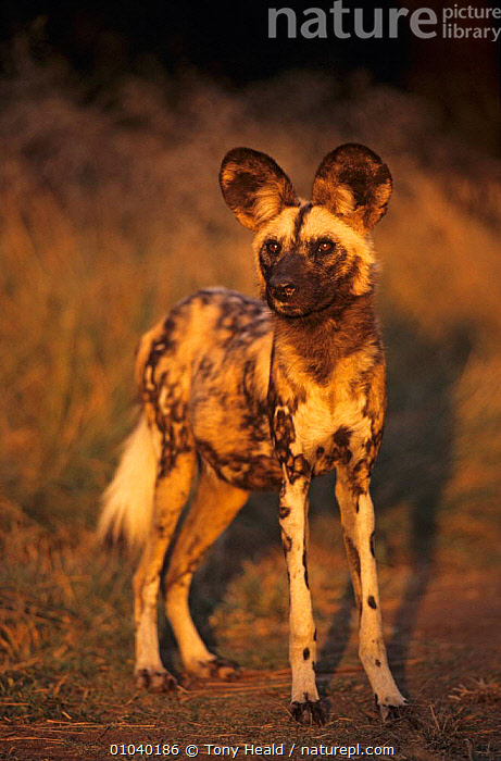 Arican wild dog portrait (Lycaon pictus) De Wildt, S. Africa  ,  AFRICA,CANIDS,CARNIVORES,DOGS,MAMMALS,PORTRAITS,SOUTHERN AFRICA,VERTEBRATES,VERTICAL  ,  Tony Heald