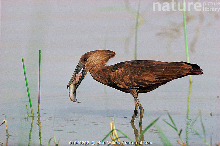 Hammerhead Stork (Scopus umbretta) feeding, Kenya. Lake Baringo. East-Africa, Lakes  ,  MW,EAST AFRICA,FISH,KENYA,HAMERKOP,LAKE,BARINGO,AFRICA,FEEDING,HORIZONTAL,BIRDS,FRESHWATER,LAKES,,PREDATION,STORKS,,BEHAVIOUR  ,  Mike Wilkes