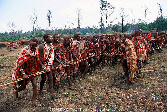 Maasai warriors dance with poles during traditonal Eunoto ceremony, Mara region, Kenya  ,  AFRICA,CULTURES,DANCING,EAST AFRICA,GROUPS,MEN,PEOPLE,TRADITIONAL,TRIBES,EAST-AFRICA  ,  Peter Blackwell