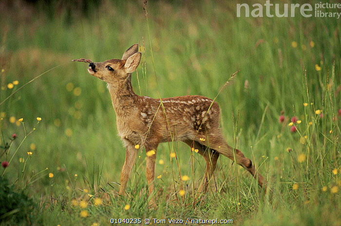 Whitetail deer fawn (Odocoileus virginianus). Texas, USA  ,  ARTIODACTYLA,BABIES,BABY,CUTE,FAWN,HORIZONTAL,JUVENILE,MAMMALS,PORTRAITS,PROFILE,STANDING,TAIL,TEXAS,USA,WHITE TAIL,NORTH AMERICA  ,  Tom Vezo