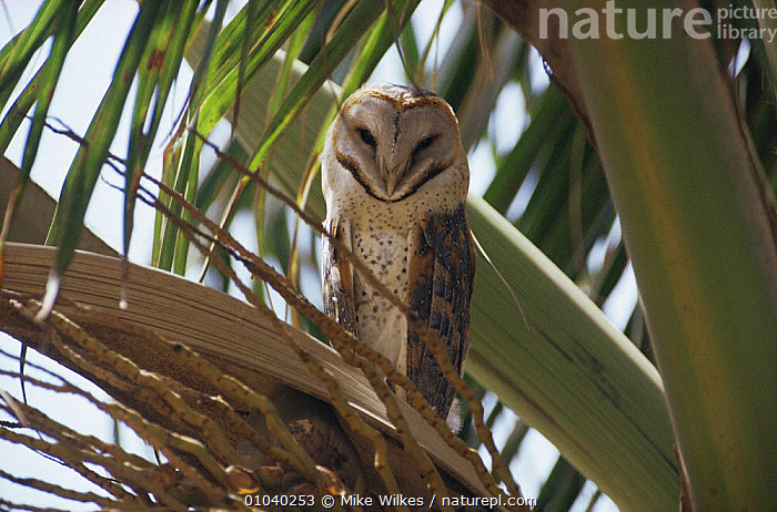 Barn owl (Tyto alba) perched in palm tree, Gambia  ,  BIRDS,BIRDS OF PREY,OWLS,PALMS,PORTRAITS,VERTEBRATES,VERTICAL,WEST AFRICA,Africa,Raptor  ,  Mike Wilkes