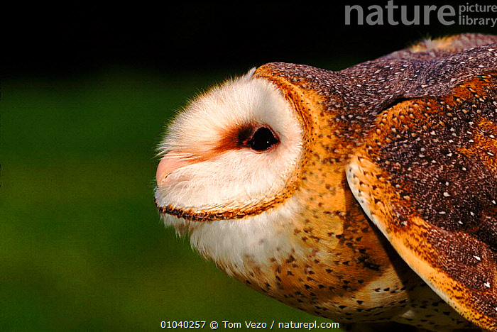 Barn owl (Tyto alba) in threatening posture. Raptor Centre, New York, USA  ,  PROFILE,AGGRESSION,POSTURE,HEADS,YORK,CLOSE UPS,,THREATENING,CAPTIVE,USA,HORIZONTAL,NEW,DEFENSIVE,BIRDS,OWLS ,BIRDS OF PREY,NORTH AMERICA,CONCEPTS,BEHAVIOUR,RAPTOR  ,  Tom Vezo