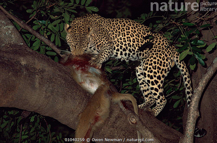 Male leopard {Panthera pardus} with baboon kill in tree at Night, Southern Luangwa NP, Zambia.  ,  BIG CATS,CARNIVORES,CATS,CLIMBING,FEEDING,LEOPARDS,MAMMALS,NIGHT,NOCTURNAL,NP,PREDATION,SOUTHERN AFRICA,VERTEBRATES,Behaviour,National Park  ,  Owen Newman