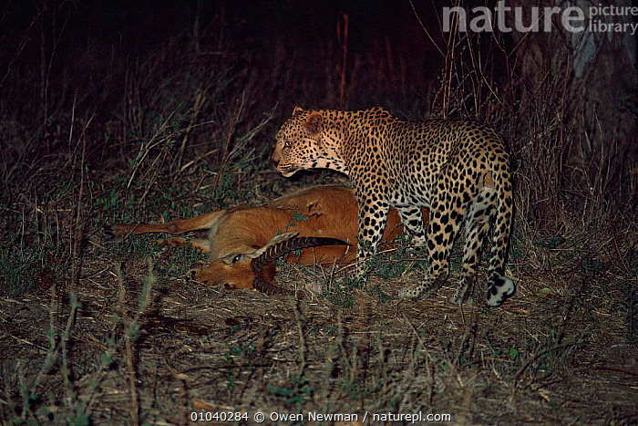 Male leopard {Panthera Pardus} with Puku kill at night, Southern Luangwa NP, Zambia.  ,  BIG CATS,CARNIVORES,CATS,LEOPARDS,MAMMALS,NIGHT,NP,PREDATION,SOUTHERN AFRICA,VERTEBRATES,Behaviour,National Park  ,  Owen Newman
