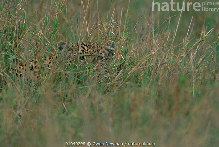 Leopard {Panthera pardus} camouflaged amongst grass, Ngorongoro Crater, Tanzania.  ,  BIG CATS,CAMOUFLAGE,CARNIVORES,CATS,EAST AFRICA,FACES,HUNTING,LEOPARDS,MAMMALS,VERTEBRATES,Africa  ,  Owen Newman