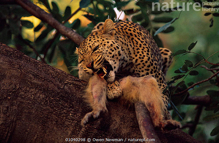 Male leopard {Panthera pardus} feeding on baboon kill in tree, Southern Luangwa NP, Zambia.  ,  BIG CATS,CARNIVORES,CATS,FEEDING,LEOPARDS,MAMMALS,NP,PREDATION,SOUTHERN AFRICA,TEETH,VERTEBRATES,Behaviour,National Park  ,  Owen Newman