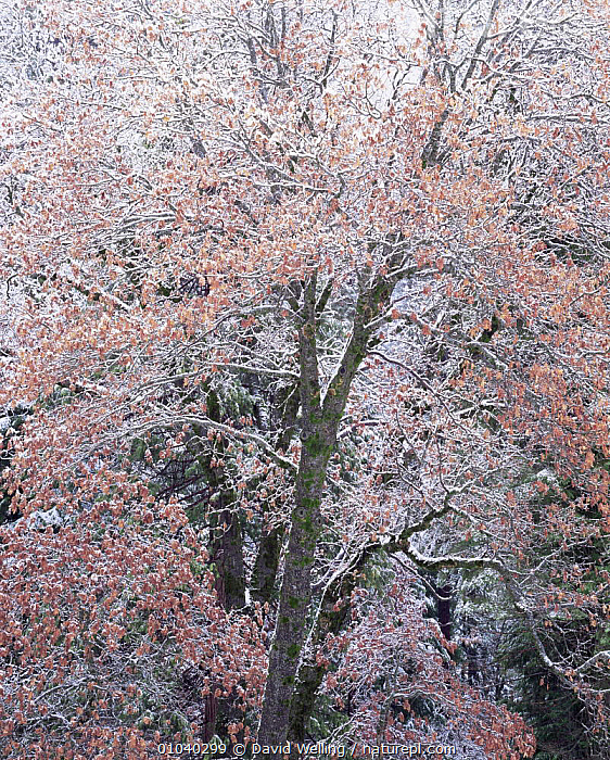 Oak tree (Quercus sp) covered in snow, Yosemite NP, California, USA  ,  BROADLEAF,LEAVES,NORTH AMERICA,NP,SNOW,TREES,TRUNKS,USA,VERTICAL,WINTER,Plants,National Park  ,  David Welling