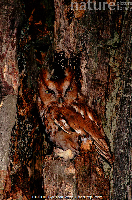 Eastern screech owl (Megascops asio) USA Vermont (C)  ,  BIRDS, BIRDS-OF-PREY, CAMOUFLAGE, OWLS, PORTRAITS, USA, VERTEBRATES, VERTICAL,North America,Raptor  ,  Tom Vezo