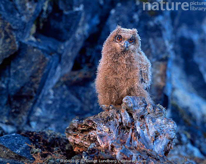 Eagle owl chick (Bubo bubo) Sweden  ,  BIRDS,BIRDS OF PREY,CUTE,JUVENILE,OWLS,SWEDEN,VERTEBRATES,Europe,Scandinavia,Raptor,Eagles  ,  Bengt Lundberg