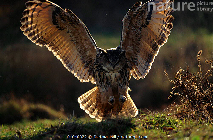 Eagle owl (Bubo bubo) landing. Germany, Europe  ,  FLYING,NIGHT,GERMANY,EUROPE,OWLS,BIRDS,PREDATION,WINGS,,CAPTIVE,HORIZONTAL,LANDING,NOCTURNAL,FEEDING ,BIRDS OF PREY,BEHAVIOUR,RAPTOR,EAGLES  ,  Dietmar Nill