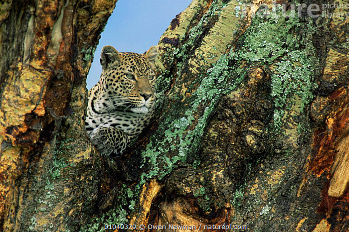 Female leopard {Panthera pardus} in Yellow fever tree, Ngorongoro Crater, Tanzania.  ,  BIG CATS,CARNIVORES,CATS,EAST AFRICA,LEOPARDS,MAMMALS,PORTRAITS,VERTEBRATES,Africa  ,  Owen Newman
