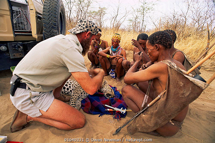 Dr Philip Sander and Ju / Hoan bushmen, replacing leopard tracking collar, Bushmanland, Namibia. 1996  ,  BIG CATS,CARNIVORES,CATS,CONSERVATION,LEOPARDS,MAMMALS,PEOPLE,RESEARCH,TRIBES,VERTEBRATES  ,  Owen Newman