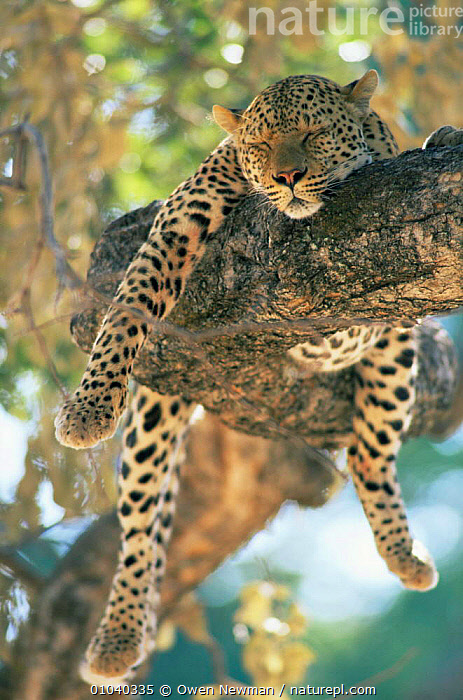 Male Leopard {Panthera pardus} resting in tree, Southern Luangwa NP, Zambia.  ,  BIG CATS,CARNIVORES,CATS,HUMOROUS,LEOPARDS,MAMMALS,SLEEPING,VERTEBRATES,VERTICAL,Concepts  ,  Owen Newman