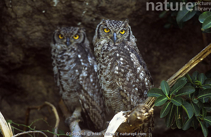 Spotted eagle owl {bubo africanus} two perched, Tanzania, East Africa  ,  BIRDS,BIRDS OF PREY,EAST AFRICA,NIGHT,OWLS,VERTEBRATES,Africa  ,  Mike Wilkes