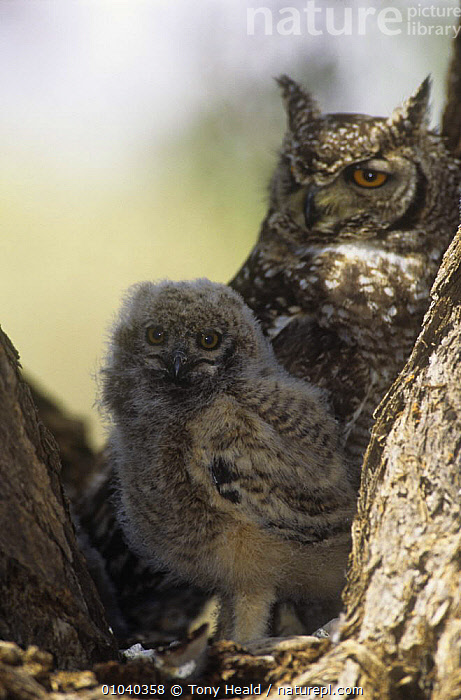 Spotted eagle owl (Bubo africanus) at nest with chick, Kalahari Gemsbok / Kgalagadi Transfrontier NP, South Africa  ,  BABIES,BIRDS,CHICKS,FAMILIES,FEMALES,NESTS,NP,OWLS,SOUTHERN AFRICA,SPOTTED,VERTEBRATES,VERTICAL,National Park  ,  Tony Heald
