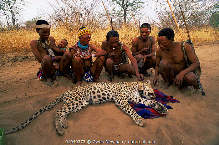 Ju / Hoan bushmen with leopard {Panthera pardus} under sedation fitted with radio tracking collar, Namibia. 1996  ,  BIG CATS,Bushman,CARNIVORES,CATS,CONSERVATION,LEOPARDS,MAMMALS,PEOPLE,RESEARCH,SOUTHERN AFRICA,TRIBES,VERTEBRATES  ,  Owen Newman