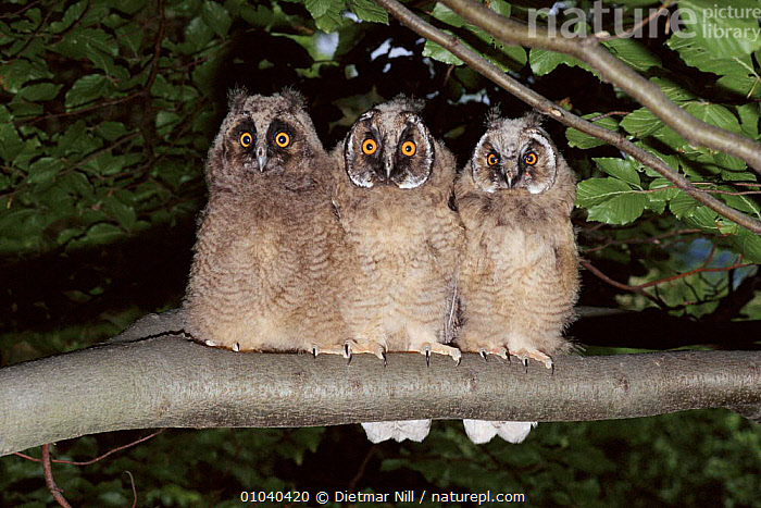 Three Long eared owl chicks perched on branch. Germany  ,  JUVENILES,HORIZONTAL,NIGHT,THREE,BIRDS,WOODLANDS,GERMANY,EUROPE,BABIES,DN,HUMOROUS, ,BIRDS OF PREY,CONCEPTS,OWLS,RAPTOR  ,  Dietmar Nill