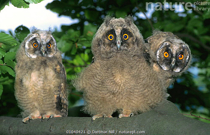 Three Long eared owl chicks up in tree (Asio otus) Germany  ,  BABIES,BIRDS,BIRDS OF PREY,CHICKS,CUTE,EUROPE,FACES,FEATHERS,GERMANY,GROUPS,NIGHT,OWLS,THREE,VERTEBRATES,WOODLANDS,Raptor  ,  Dietmar Nill