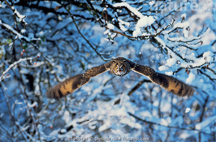Long eared owl {Asio otus} in flight with snow, Germany.  ,  ACTION,BIRDS,BIRDS OF PREY,EUROPE,FLYING,GERMANY,MOVEMENT,OWLS,SNOW,VERTEBRATES,WINTER,WOODLANDS,Raptor  ,  Dietmar Nill