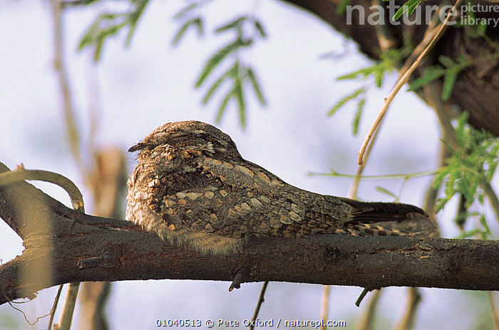 Long tailed nightjar (Caprimulgus macrurus) roosting on branch India Keoladeo NP, Bharatpur  ,  ROOSTING,PO,TREE,BHARATPUR,CAMOUFLAGE,HORIZONTAL,INDIAN SUBCONTINENT,NP,BIRDS,INDIA,RESERVE,KEOLADEO,ASIA,NATIONAL PARK,,UNESCO World Heritage Site,  ,  Pete Oxford