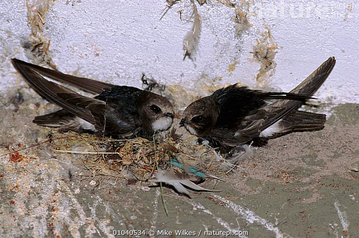 House swifts (Apus affinis) at nest. Kenya, East Africa  ,  KENYA,MALE FEMALE PAIR,TWO,NESTING BEHAVIOUR,,HORIZONTAL,BIRDS,EAST AFRICA,NESTS ,URBAN,AFRICA,REPRODUCTION  ,  Mike Wilkes