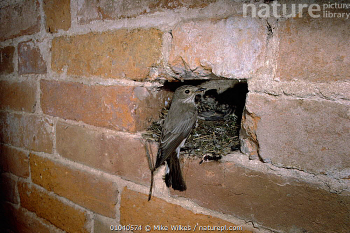 Spotted flycatcher at nest in garage wall (Muscicapa striata) UK Worcestershire  ,  BIRDS,BRITISH,BUILDINGS,ENGLAND,FAMILIES,JULY,MW,NEST,NESTING BEHAVIOUR,NESTS,PARENTAL,PASSERINES,SUMMER,UK,URBAN,WALL,WILDLIFE,EUROPE,UNITED KINGDOM,REPRODUCTION  ,  Mike Wilkes