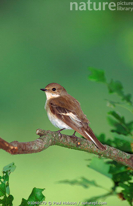 Female pied flycatcher on perch, England, UK  ,  PERCH,PORTRAITS,VERTICAL,BIRDS,FEMALES,UK,EUROPE,PH,ENGLAND,TREE,PASSERINES,UNITED KINGDOM,BRITISH  ,  Paul Hobson