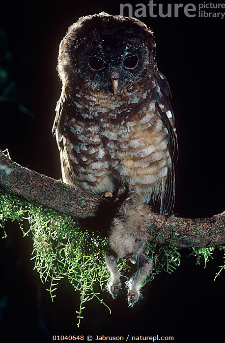 African wood owl (Strix woodfordii) perched with Potto kill, Epulu Ituri Rainforest Reserve, Dem Rep of Congo  ,  BIRDS,BIRDS OF PREY,CENTRAL AFRICA,EASTERN POTTO,FEEDING,NIGHT,NOCTURNAL,OWLS,PERODICTICUS POTTO IBEANUS,PORTRAITS,PREDATION,RESERVE,VERTEBRATES,VERTICAL,Behaviour,Raptor , Bruce Davidson  ,  Jabruson