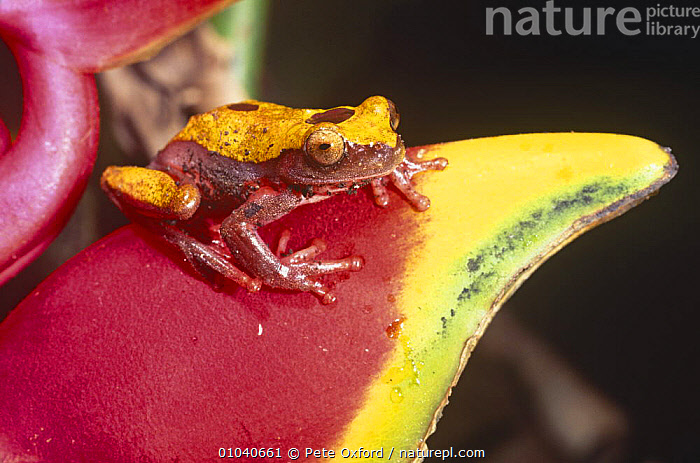 Tree frog on heliconia (Hyla triangulum) Amazon, Ecuador  ,  Anura, COLOURFUL, FROGS, PORTRAITS, TREE-FROGS, tropical-rainforest, VERTEBRATES, AMPHIBIANS, CAMOUFLAGE, PLANTS, SOUTH-AMERICA, TROPICAL  ,  Pete Oxford