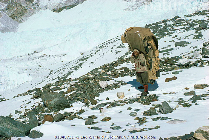 Nepalese porter carrying large load of wood up mountain, Himalayas, Nepal  ,  ASIA,FUEL,INDIAN SUBCONTINENT,MAN,MOUNTAINS,PEOPLE,SNOW,TRADITIONAL  ,  Leo & Mandy Dickinson