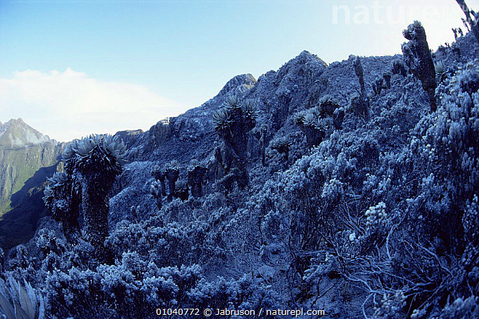 Snowfall at 4200m up Kiondo, Mountains of the Moon, Ruwenzori, Virunga NP, Democratic Republic of Congo (formerly Zaire)  ,  AFRICA,ALTITUDE,CENTRAL AFRICA,COLD,FROST,FROZEN,HIGHLANDS,LANDSCAPES,MOUNTAINS,NP,PLANTS,SLOPES,SNOW,Weather,National Park , Bruce Davidson  ,  Jabruson