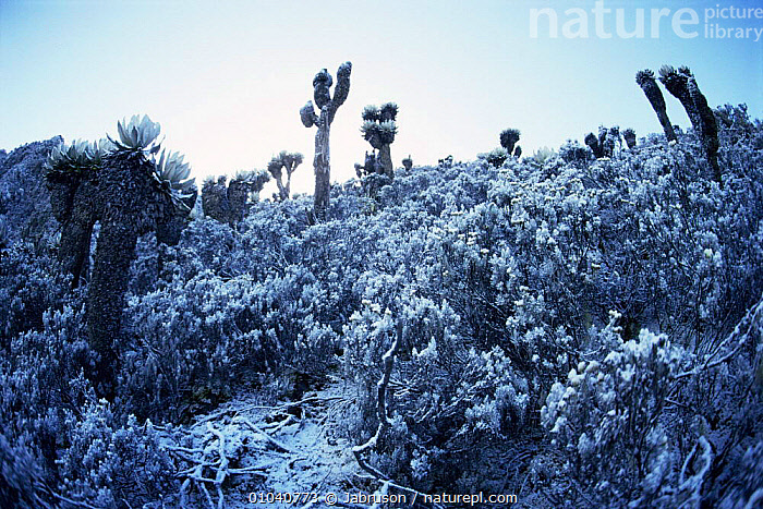 Snowfall at 4200m up Kiondo, Mountains of the Moon, Ruwenzori, Virunga NP, Democratic Republic of Congo (formerly Zaire)  ,  AFRICA,ALTITUDE,CENTRAL AFRICA,HIGHLANDS,LANDSCAPES,MOUNTAINS,NP,PLANTS,SNOW,National Park , Bruce Davidson  ,  Jabruson