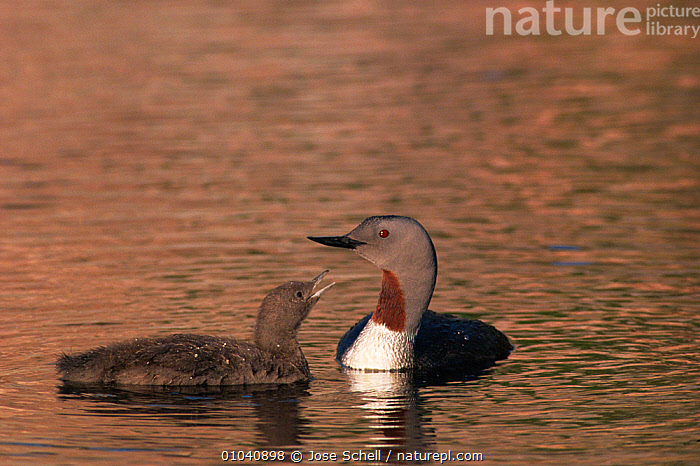 Red throated diver (Gavia stellata) chick begging for food from adult, St Lawrence Gulf, Quebec, Canada  ,  BABIES,BIRDS,CANADA,CHICKS,FAMILIES,GREBES,VERTEBRATES,WATER,WATERFOWL,North America  ,  Jose Schell