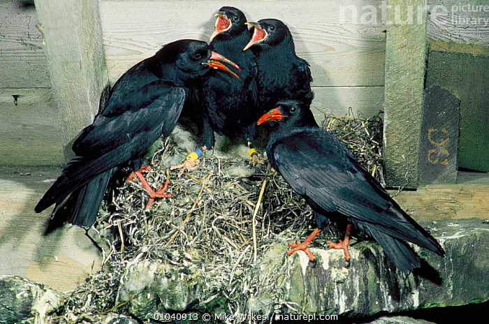 Choughs with young at nest in barn (Pyrrhocorax pyrrhocorax) Scotland  ,  NESTS,PASSERINES,FAMILIES,PARENTAL,EUROPE,UK,ISLAY,JUNE,NESTING BEHAVIOUR,BIRDS,United Kingdom,Reproduction,British , Inner Hebrides  ,  Mike Wilkes