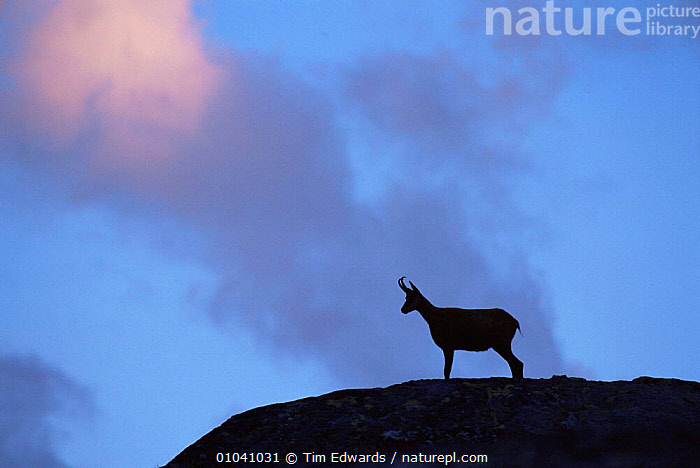 Chamois (Rupicapra rupicapra) silhouetted, Gran Paradiso National Park, Italy  ,  ARTIODACTYLA,BOVIDS,EUROPE,GOATS,HIGHLANDS,ITALY,LANDSCAPES,MAMMALS,MOUNTAINS,NP,SILHOUETTES,SUNRISE,VERTEBRATES,National Park  ,  Tim Edwards
