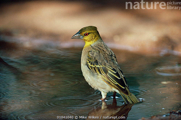 Village weaver at water (Ploceus cucullatus) Gambia.  ,  BIRDS,DRINKING,VERTEBRATES,WATER,WEAVER BIRDS,WEST AFRICA,Africa  ,  Mike Wilkes