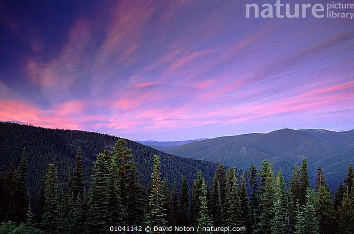 Pine forests, Manning Provincial Park, British Columbia, Canada  ,  SUNSET,PINE,FORESTS,HORIZONTAL,MANNING,PARK,PROVINCIAL,WOODLANDS,NORTH AMERICA,SKY,CONIFEROUS,TREES,PLANTS  ,  David Noton